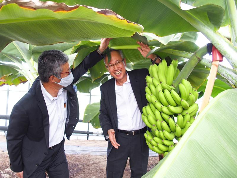 青いがしっかり膨らんだバナナを前に笑顔を見せる小出昭夫理事長(右)と櫻井雅浩・柏崎市長。バナナは青いまま収穫、追熟室で1週間ほど熟成、出荷される(8月18日、シモダファーム)